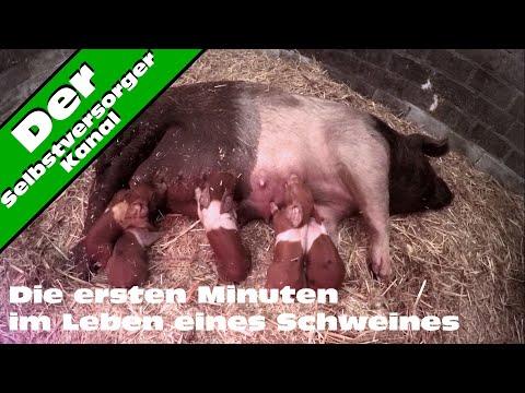 Die ersten 16 Minuten im Leben eines Schweines uncut