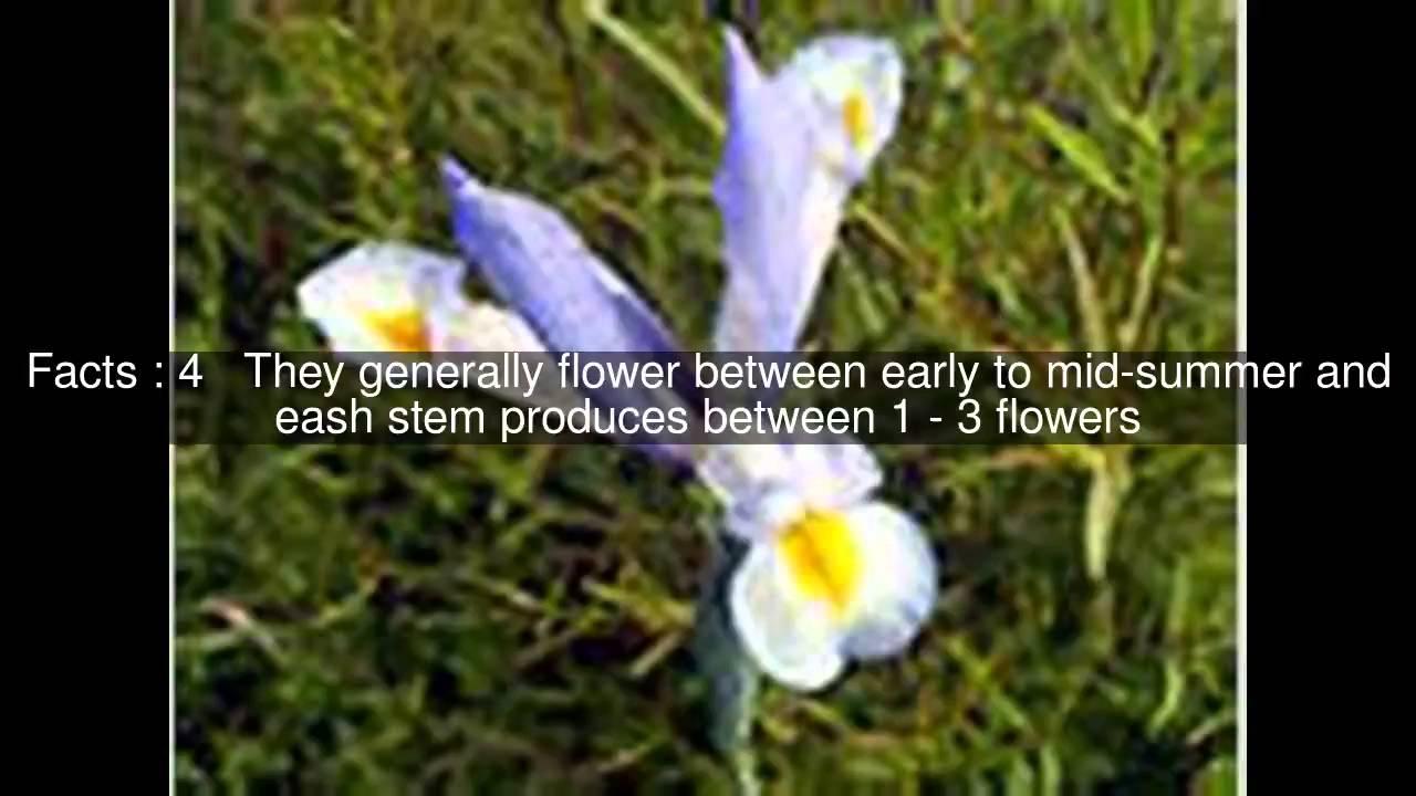 Iris subg xiphium top 7 facts youtube iris subg xiphium top 7 facts izmirmasajfo