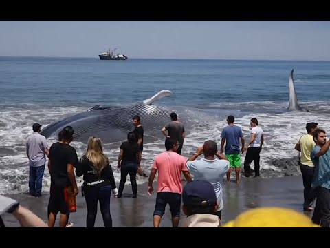 Giant beached blue whale saved by fishermen off Chile coast