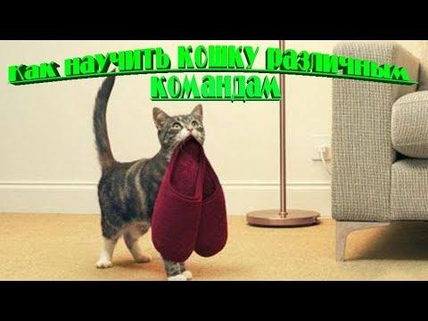 Как дрессировать кота в домашних условиях видео