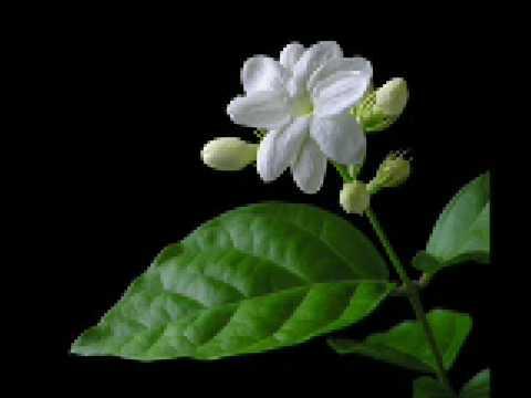 Khasiat & Manfaat Bunga Melati Putih | Melati & Taman