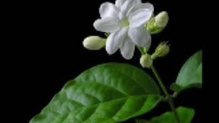 Iwan Abdulrachman - melati putih