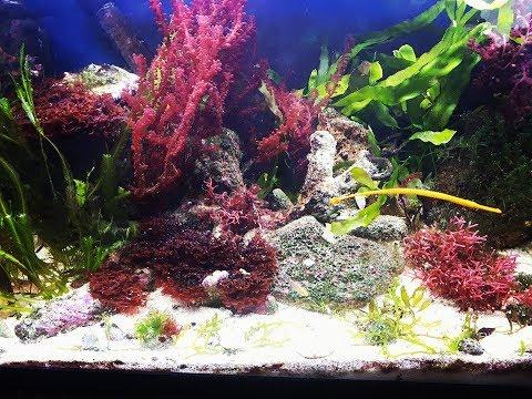 Planted marine tank/ display refugium update /Morskie akwarium roślinne