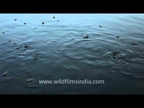 Man feeding to the fishes at Jal Mahal