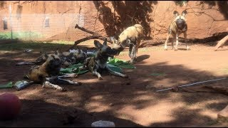 African Wild Dog puppies celebrate first birthday at Honolulu Zoo