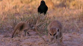 Bird tries to steal Meerkat pup