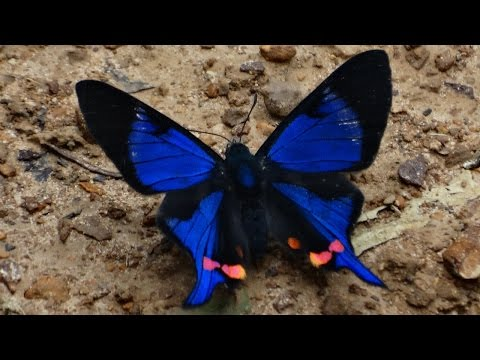 Belíssima borboleta da Mata Atlântica de Santa Catarina - Rhetus Periander eleusinus