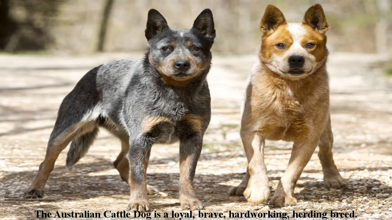 Australian cattle dogs shed a lot - Information video - YouTube