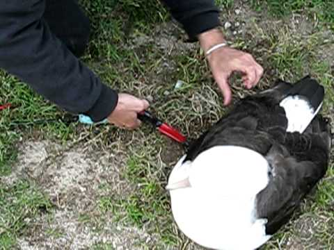 Laysan Albatross Banding - Midway Atoll - Oceanic Society