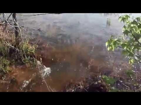 Carp swimming from Cutoff part of Jordan Lake into main Jordan
