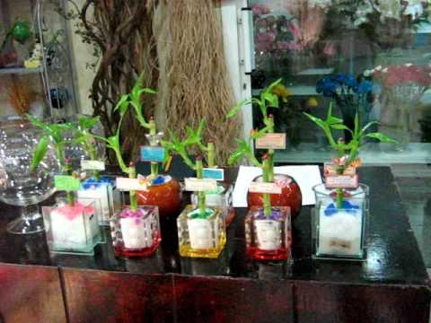MVI 0594 My Lucky Bamboo At Kanel Flower Shop   Qatar