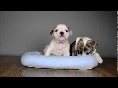 English Bulldog Puppies Just Chillin At Just Puppies Orlando Youtube