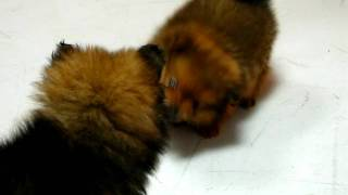 Pomeranian, Puppies, For, Sale, In, San Jose, California, Ca, Ontario, Santa Rosa, Rancho Cucamonga