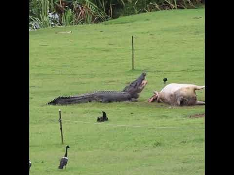 Crocodile Eats Cow in Front of Shocked Family