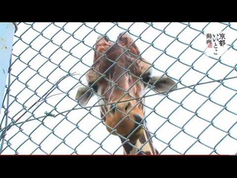 京都市動物園 / Kyoto Zoo  動画で観光 京都いいとこ動画