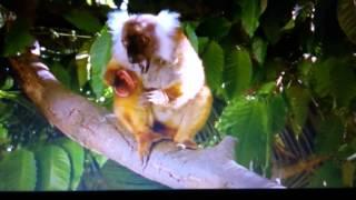 видео Представители отряда Приматы