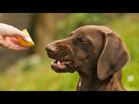 Funny Dogs vs Lemons - Funny Dog Videos (2018)