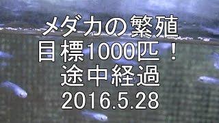メダカ飼育暦2年目ですが 去年は100匹位残す事が出来たので 今年は1000...