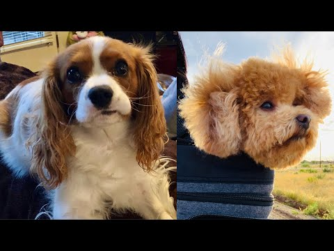TOY POODLE & CAVALIER KING CHARLES SPANIEL