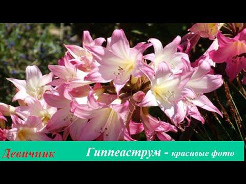 Гиппеаструм - Дом и сад