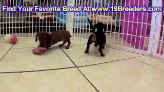Miniature Dachshund, Puppies, For, Sale, In,omaha ,nebraska, Ne,lincoln, Bellevue, Grand Island