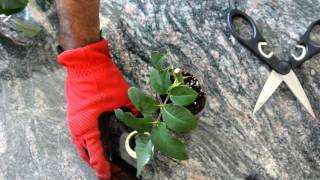 How to Grow Roses from Cuttings Fast and Easy! thumbnail