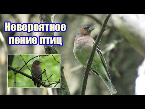 Невероятное пение птиц в лесу 7 мая 2020 года!