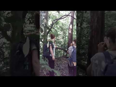 Watching the orangutan in the jungle sumatra jungle life