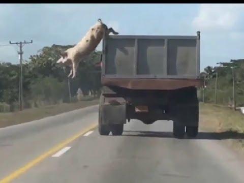 Смешная свинья (смешной мультфильм)