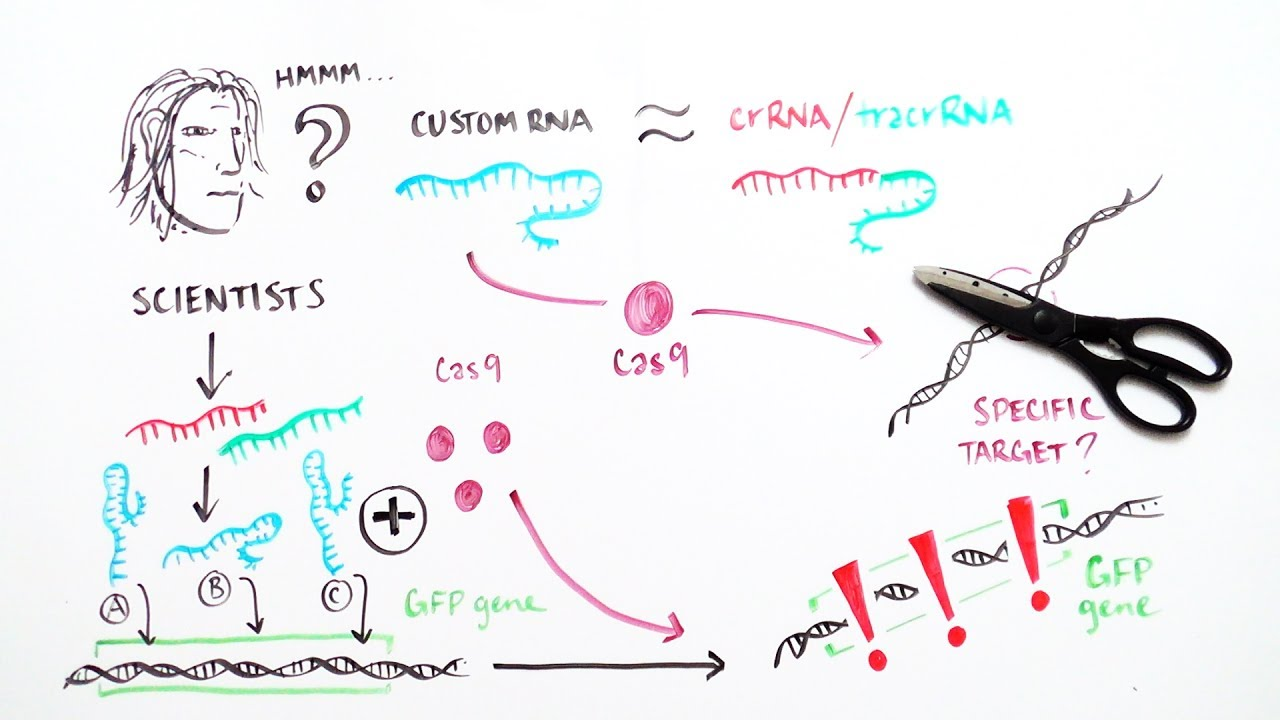 CRISPR: A word processor for editing the genome - iBiology ...