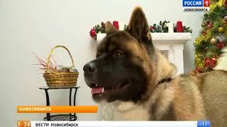 """""""Вести"""" узнали про особенности характера собаки Акиты"""