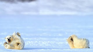 A Chance Encounter With a Polar Bear and Her Two Cubs Video