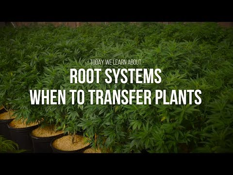 Root Systems and When To Transfer Plants