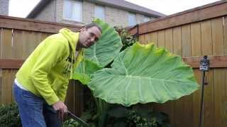 Overwintering Colocasia Gigantea Thailand Giant in a Cold Climate - Time to Bring it Indoors
