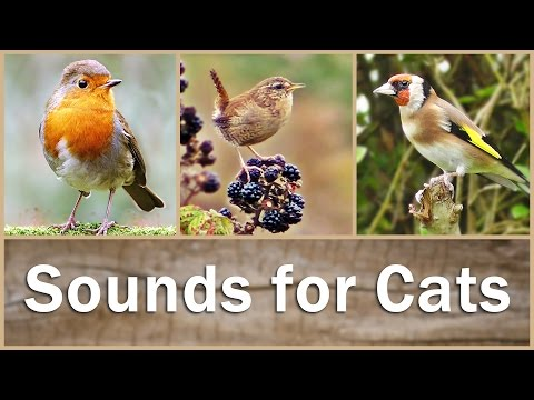 Sounds for Cats to Listen To : Birds in HD - 9 HOURS of Bird Song - Cat TV