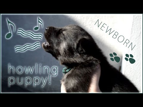 Newborn Tamaskan puppy howls for the first time!