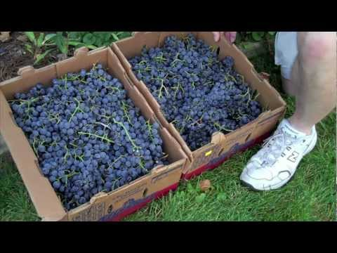 FIELD TRIP - CONCORD GRAPE VINES