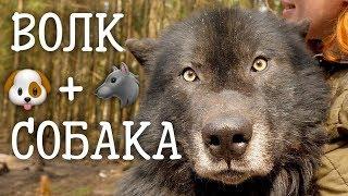 Волкособ. Волк или собака? Самые красивые маламуты.