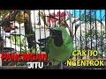 Cucak Ijo Emosi Bongkar Isian Ampuh Jadi Pancingan Cak Ijo  Mp3 - Mp4 Download