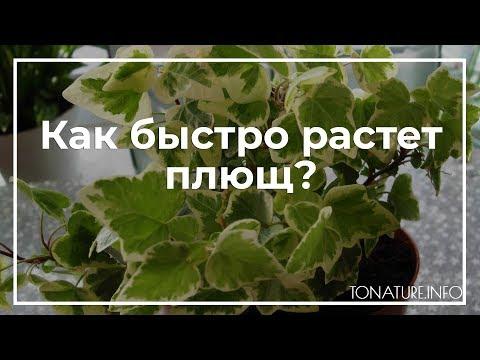 Как быстро растет плющ?   toNature.Info