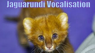 Jaguarundi Vocalisation Fight Over Food