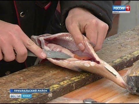 Окружные ихтиологи рассказали «Вести Ямал» о «здоровье» рыбного стада в регионе