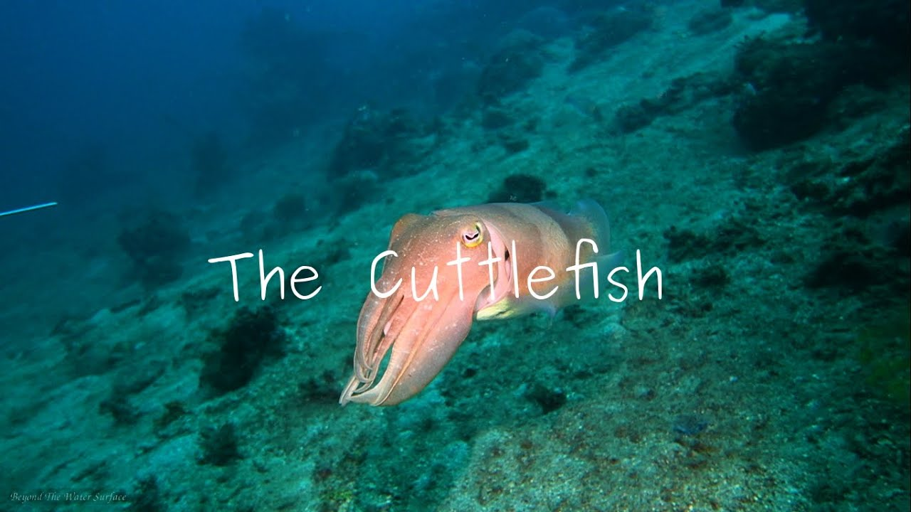 Masters Of Camouflage: The Cuttlefish - YouTube