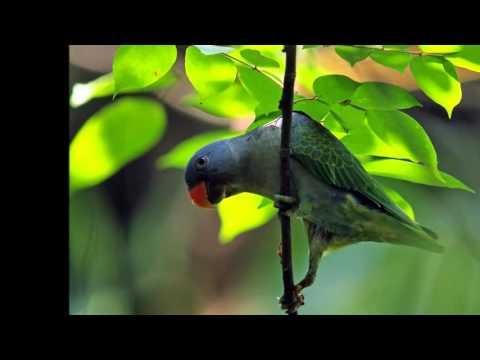 beautiful photo Psittinus parrots