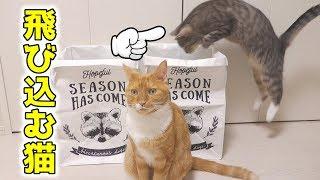 茶トラ猫の「ちゃい」と、サバトラ猫の「すし」が先日の動画で遊んでい...