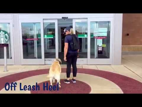"1 yr old Labrador Retriever ""Ranger""