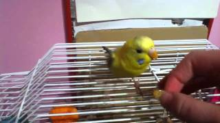 How to Teach Your Budgie to Run Through a Toilet Paper Roll