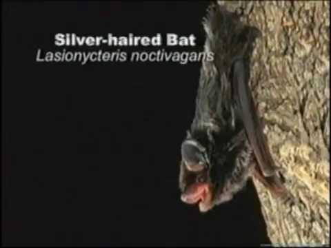 Bat Week- Tree Roosting Nevada Bats