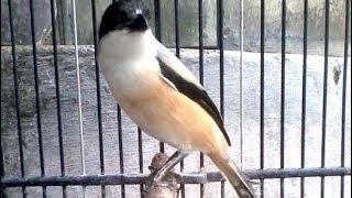 Suara Burung Pentet Sumatera Luar Biasa