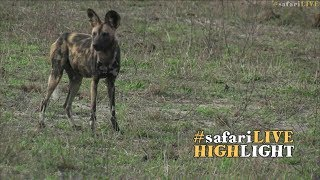Wild Dogs Give Each Other A Call